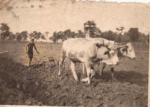 1944 szántás tinókkal